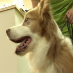 dog receives stem cell therapy