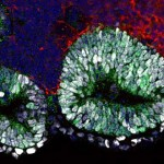 mouse stem cells